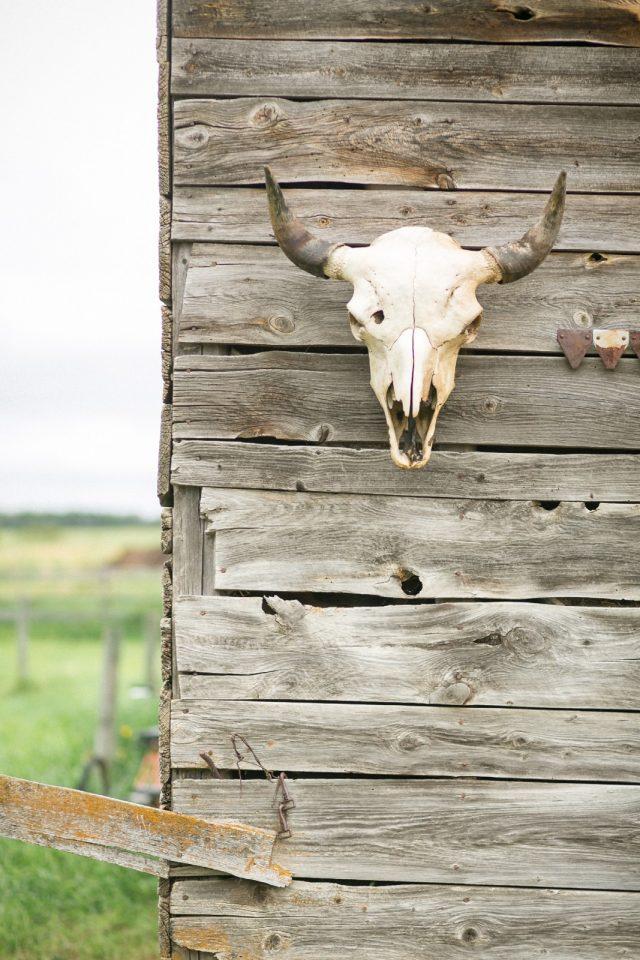 A cow skull hangs on a barn in Glenbush, Saskatchewan by Clint Bargen Photography.